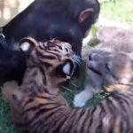 トラ・チンパンジー・オオカミの子供がくっついてジャレ合う