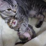 [撮影不可?] 夢をみてピクピクする仔猫を優しく抱きしめる母ネコ
