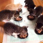 6匹の子ネコにご飯をあげる、それだけでとっても可愛い♪