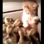 ひよこの群れに入った子ネコがタジタジに・・・