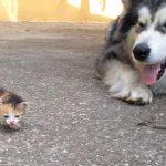 保護した子猫と先住犬と対面、オドオドしながら仲良くなろうとするワンちゃんが愛おしい♪