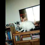 TV横のミニカーを落とそうとする猫に「コラ~」と声かけると・・・