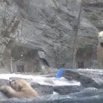 動物園のプールに落ちて溺れそうになる白熊の子供、そこへかけつける母親の行動が感動的