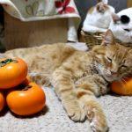 丁度いい高さ?柿まくらで熟睡する猫ちゃん達