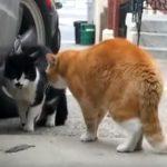 鳴き声が完全に「志村けん」な猫ちゃん