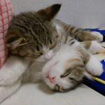 寝ている子に毛づくろいしていると自分も眠くなる猫ちゃん(=^・^=)