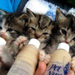 [ゴクゴク] 3匹の子ネコが並んでミルクを飲む