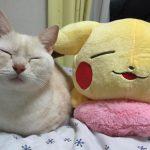 【猫画像】 ピカチュウのぬいぐるみと一緒に寝る猫ちゃんがそっくりすぎてほっこり(*'▽')