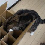 箱に入るのが大好きな猫(まるちゃん)、仕切りが多すぎて悩む