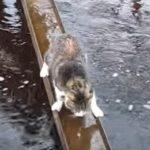 水たまりの橋・・・悩んだ猫ちゃんはアイデアをひらめいて渡る