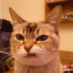 「チッ」っと舌打ちする猫ちゃん【猫画像】