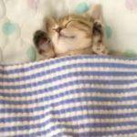 お布団でスヤスヤ眠る子猫さん