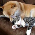 優しい犬がニャンコをペロペロと毛づくろい