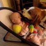 おもちゃを取ったら赤ちゃんが号泣、「ゴメンネ」と家中のおもちゃを持ってくる健気なビーグル犬