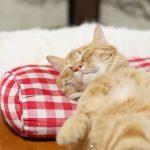枕で寝るネコちゃん