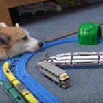 プラレールの線路の上で寝るコーギー、なんども電車に衝突されて起こされる♪