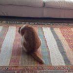 可愛くて悶絶♪お尻歩きをするお茶目な猫ちゃん(^◇^)