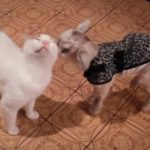 保護された子ヤギさんのパパ代わりになって面倒をみる猫さん