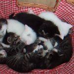 カゴで寝ているたくさんの仔猫を、上から見守る母猫