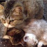 [添い寝] 仔猫を寝かしつけて、自分も一緒に寝てしまう母ネコ