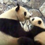 向かいあってチュ~をするパンダの親子