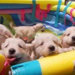 楽しく遊ぶゴールデンの子犬たち♪