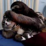 ナマケモノになつかれてしまって困っている猫ちゃん