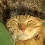 猫の尻尾でできた帽子をかぶる猫ちゃん