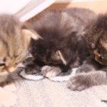 3匹の子猫ちゃんが同時にゴメン寝(*´▽`*)