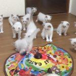 ラグドールの仔猫がおもちゃで遊ぶ光景にノックアウト♪