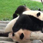 子パンダに押さえ込まれた母パンダが起きられない