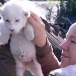 ホワイトライオンの赤ちゃんがモフモフで可愛い♪