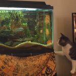 水槽の魚を狙うネコちゃん、おかしなジャンプをする