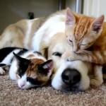 [ほのぼの] 大型犬と一緒に寝る2匹の子猫