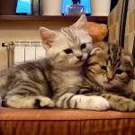 仲良しすぎていつも一緒にいる2匹の子猫