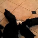 六匹の黒ワンちゃんに、ミルクをあげたら扇風機みたいになった!?