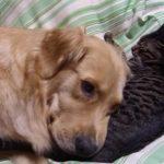 猫枕で寝るゴールデンレトリバー