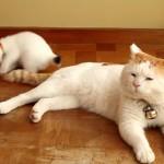 寝ながらシッポで子ネコを遊ばせるものぐさなニャンコ(*'▽')
