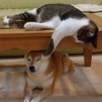 テーブルの上からこっそりネコパンチを繰り出すイタズラ猫さんと、動じない柴犬♪