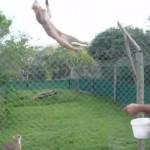 [驚異] 世界にはビックリするほど高くジャンプするネコがいた