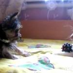 おもちゃが欲しい子犬のがネコちゃんに可愛いおねだり