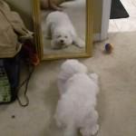 鏡に映る自分の姿に大興奮するワンちゃん