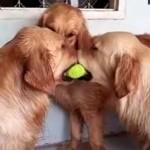 テニスボールをくわえる2頭のゴールデン、見かねて仲裁に入るワンちゃんが驚きの行動に!?