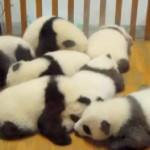 パンダの赤ちゃん大集合