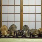 いつも同時にご飯を食べる10匹のネコちゃん達