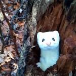 木の中から顔を出す真っ白なオコジョ(イタチ)がカワイイ♡