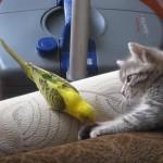 まったりと遊ぶインコと子猫さん
