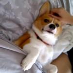 お布団でよしよしされて眠るコーギーが可愛い(^◇^)