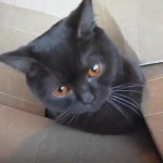 段ボールに吸い込まれるネコさん(^◇^)