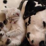 寝ているダルメシアンによりかかってくつろぐ子猫さん